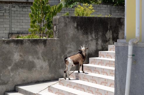 goats at school